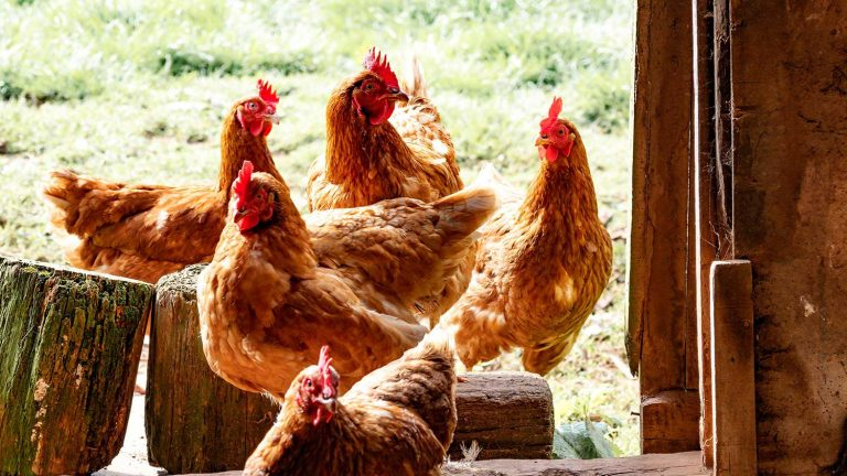 six brown chickens